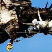 Un águila cazando un dron